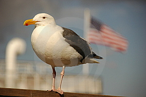 Seabird, Stars And Stripes Stock Images - Image: 6799024