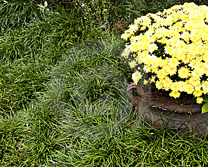Pot Of Mums Stock Photography - Image: 6799212