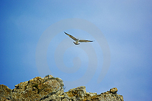 Seagull Over Rocks Royalty Free Stock Photography - Image: 6800597