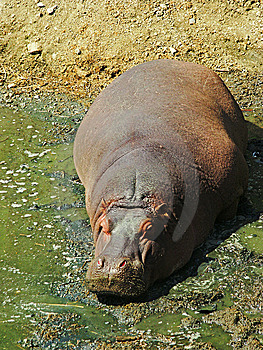 A Hippo In The Mud Royalty Free Stock Images - Image: 6801509
