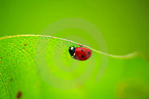 Ladybug Royalty Free Stock Images - Image: 6806059
