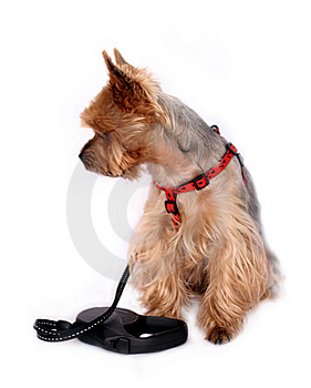 Small Dog with Dog-lead Stock Photo