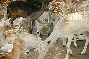 White Tailed Deer Royalty Free Stock Images - Image: 6812289