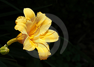 Yellow Day Lily Royalty Free Stock Photos - Image: 6812678