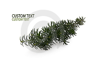 Green Conifer Branch Royalty Free Stock Photo - Image: 6812965