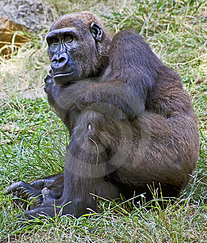 Gorilla 16 Stock Photography - Image: 6813502