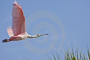 A Spoonbill Flying Over The Road Royalty Free Stock Image - Image: 6814236