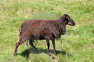 Black Sheep Stock Photo - Image: 6814650