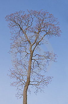 Bare Tree In Spring Royalty Free Stock Image - Image: 6831096