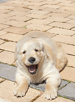 Small Golden Retriever Puppy Stock Photography - Image: 6833862