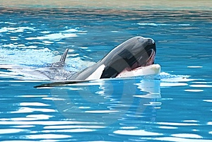 Orca Stock Photos - Image: 6834173