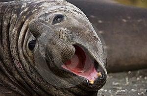 Elephant Sea Royalty Free Stock Photography - Image: 6843327