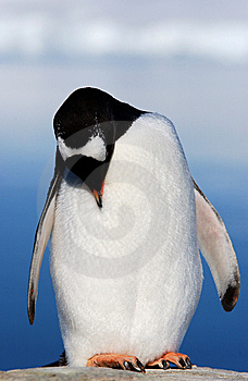 Gentoo Penguin Stock Images - Image: 6843334