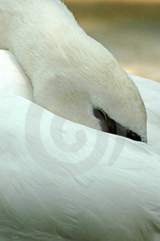 Peek A Boo White Swan Royalty Free Stock Image - Image: 6844276
