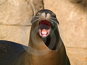 Crying Sealion Royalty Free Stock Images - Image: 6845129