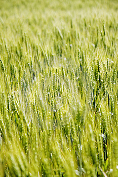 Wheat Field Stock Photos - Image: 6846113