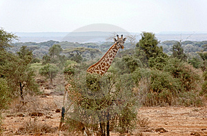 Giraffe Royalty Free Stock Photo - Image: 6850395