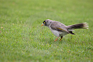 Noisy Miner On The Grass Stock Photo - Image: 6857780