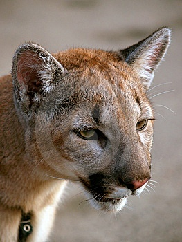 Puma Royalty Free Stock Images - Image: 6867539