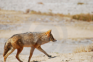 Desert Coyote Stock Photo - Image: 6869040