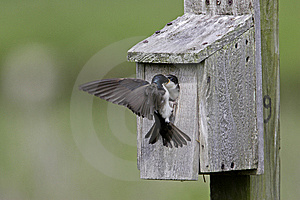 Tree Swallow Feeding Juvenile Royalty Free Stock Photo - Image: 6870335