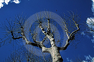 Platanus Tree In Aix-en-Provence, Provence, France Stock Photo - Image: 6881510