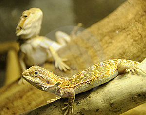 Bearded Dragon Siblings Royalty Free Stock Photography - Image: 6882827