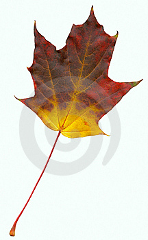 High Quality Scanned Leaf Of Maple (Acer) Stock Image - Image: 6892371