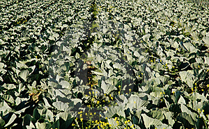 Rows Of Cabbage Royalty Free Stock Photo - Image: 6895835