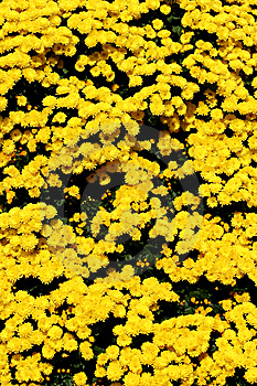 Garden Mums Stock Photography - Image: 6898622