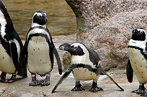 Penguins Royalty Free Stock Image - Image: 693326