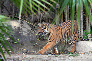 Tiger Walking Stock Photos - Image: 699403