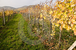 Vineyard And Rows Royalty Free Stock Photos - Image: 6904188