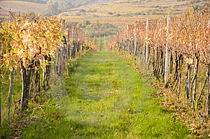 Vineyard And Rows Royalty Free Stock Photo - Image: 6904225