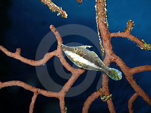 A Slender Filefish, Grand Cayman Royalty Free Stock Images - Image: 6910739