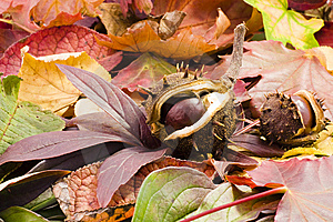 Autumn Chestnuts Royalty Free Stock Photography - Image: 6926747