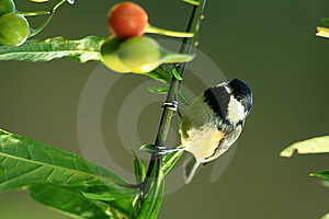 Birds Coal Tit. Stock Photography - Image: 6927442