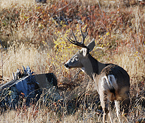 Big Buck Stock Photos - Image: 6927603