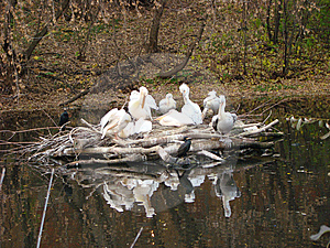 Island Of Curly Pelicans Pelecanus Crispus Stock Images - Image: 6933074