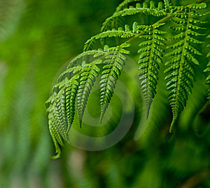 Fern Leaves Royalty Free Stock Photo - Image: 6933305