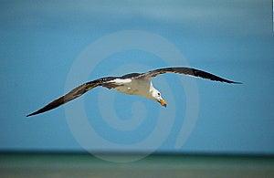 Gliding Seagull Royalty Free Stock Image - Image: 6938456