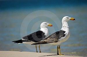 2 Big Seagulls Stock Image - Image: 6938521