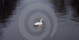 Swan (2) Stock Image