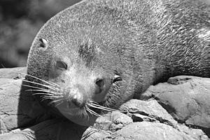 New Zealand Fur Seal Free Stock Image
