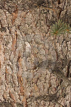 Red Pine Bark Free Stock Photo