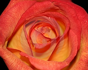 Rose orange et rouge Photographie stock