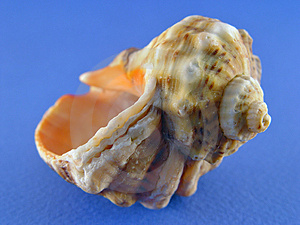 Shell On Blue Stock Image