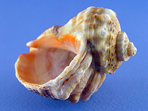 Shell On Blue Stock Photography