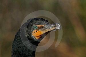Cormorant Double-crêté Photos stock