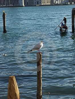 Venetian Seagull Free Stock Photography